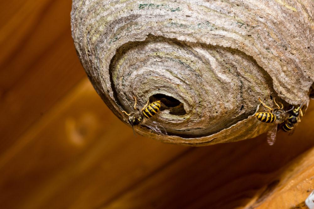 Wespennest An Der Holzfassade Entdeckt Blo 223 Keine Panik